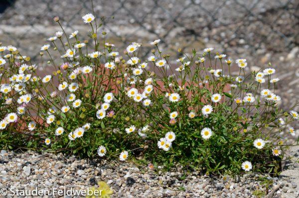 Erigeron Blütenmeer 4122